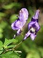 Aconitum degenii PID1475-1.jpg
