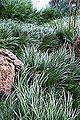 Acorus gramineus - San Francisco Botanical Garden - DSC00064.JPG