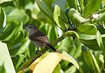 Acrocephalus familiaris -Laysan, Northwestern Hawaiian Islands, USA-8 (1).jpg