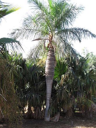 Flora of Cuba - Acrocomia crispa