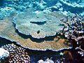 Acropora cytherea, Samoa.jpg