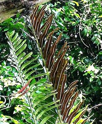 Acrostichum - Acrostichum aureum, showing sori