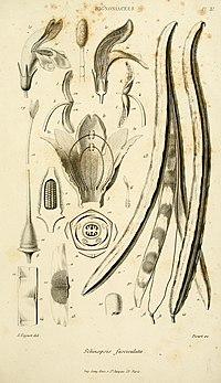 T. fasciculatus