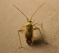 Adelphocoris lineolatus.jpg
