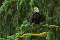 Adler Baum.jpg