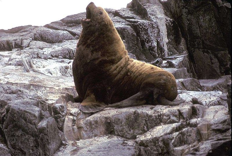 ファイル:Adult male Northern Fur Seal.jpg