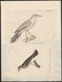 Aedon galactodes - 1700-1880 - Print - Iconographia Zoologica - Special Collections University of Amsterdam - UBA01 IZ16200109.tif