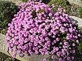 Aethionema armenum 'Warley Rose' 1.JPG