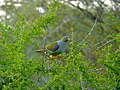 African Green Pigeon (Treron calvus) (11423539903).jpg