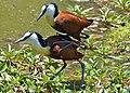 African Jacanas (Actophilornis africanus) mating (11465019856).jpg