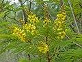 African Wattle (Peltophorum africanum) (11515503293).jpg