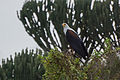 African fish-eagle - Queen Elizabeth National Park, Uganda.jpg