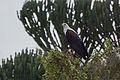 African fish-eagle - Queen Elizabeth National Park, Uganda.jpg