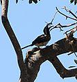 African grey hornbill 2 MM.jpg
