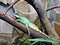 Agama blotna, wodnogama indochinska (Physignathus cocincinus) - Zoo w Warszawie 1.JPG