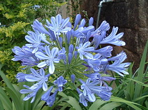 Agapanthus africanus, Blütenstand. Agapanthaceae.