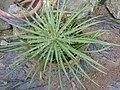 Agave schidigera-2-tnau-yercaud-salem-India.jpg