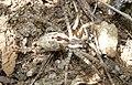 Agelena inda in Chinnar Wildlife Sanctuary by C K Adarsh.jpg