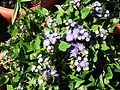 Ageratum houshoniaum-pots-yercaud-salem-India.JPG