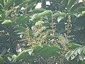 Aglaia spectabilis flowering2395.jpg