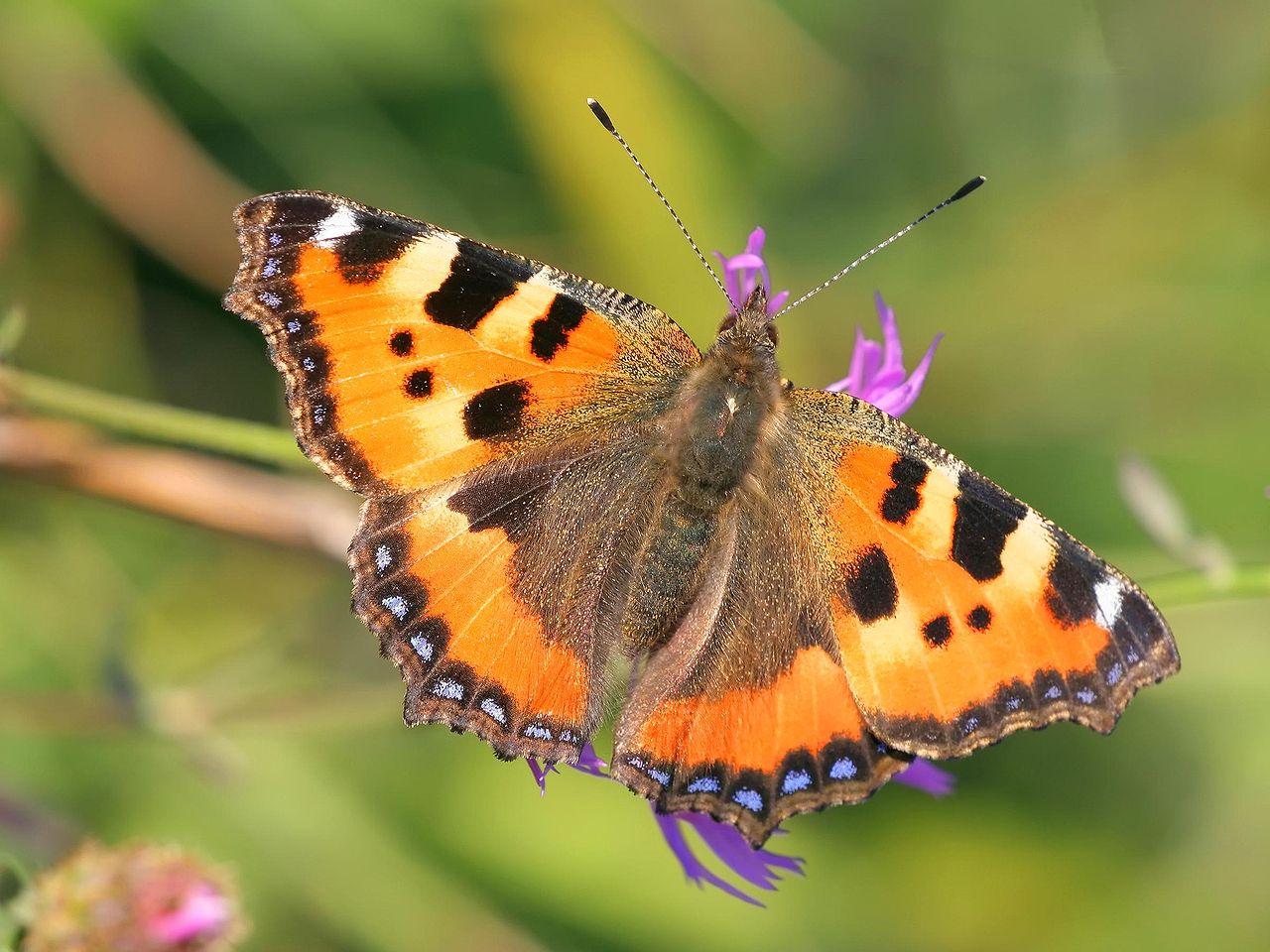 Babôčka pŕhľavová (Aglais urticae) - motýľ