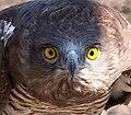 Aguila Culebrera de frente.JPG
