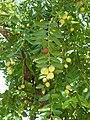 Alb-Z. jujuba-fruit-7.jpg