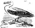 Albatross, Nordisk familjebok.png