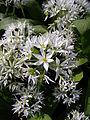 Allium ursinum 3 BOGA.jpg