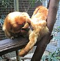 Allogrooming golden lion tamarin.jpg