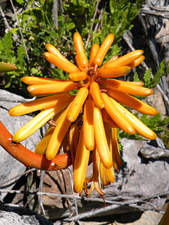 Aloe commixta - Table Mountain Aloe - Inflorescence detail 4.jpg