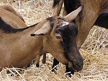 La photo couleur présente une chèvre marron à chanfrein et ligne dorsale noire, couchée dans la paille.