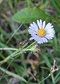 Alpine aster Aster alpigenus flower.jpg