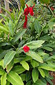 Alpinia purpurata kz2.JPG