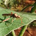 Alydidae at Mechode Padur.jpg