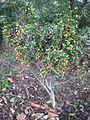 Alyxia ruscifolia 1c.JPG