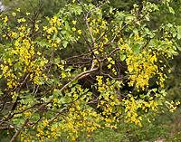 Amaltas (Cassia fistula) in Hyderabad, AP W IMG 7140