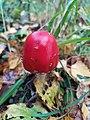 Amanita muscaria mushroom Amanita.jpg