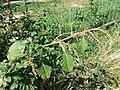 Amaranthus viridis sl21.jpg