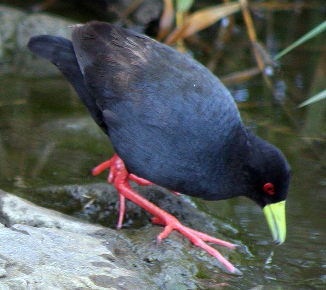 File:Amaurornis flavirostris.jpg