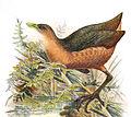 Amaurornis isabellina 1898 changed.jpg