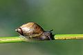 Amber snail (Succinea putris).jpg