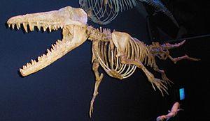 Ambulocetus - Skeleton