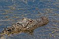 American Alligator Sea Rim SP Sabine Pass TX 2018-03-31 12-22-33 (39474659580).jpg