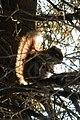 American Red Squirrel (Tamiasciurus hudsonicus) - Thunder Bay, Ontario 02.jpg
