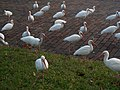 American white Ibis birds in Dade City Florida.jpg