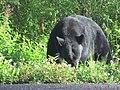 Amerikanischer Schwarzbär(Ursus americanus).jpg