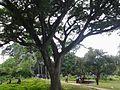 Amjhpi Nilkuthi Old tree on the Garden.jpg