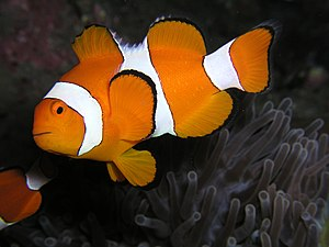 Ocellaris clownfish - The males can change gender to female during their lives, and live in a harem in which an established dominance hierarchy manages the group and keeps individuals at a specific social rank.