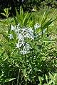 Amsonia orientalis kz04.jpg